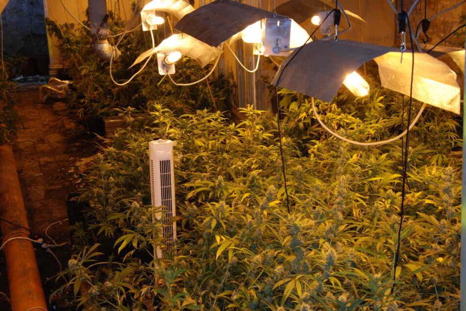 Sie suchten ihn wegen einer anderen Sache auf, dann fanden zwei Polizeibeamte eine Cannabis-Plantage bei einem 28-Jährigen. (Symbolbild)