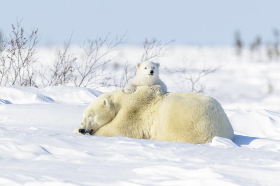 Eine Eisbärmutter mit ihrem Kind. (Archivbild)
