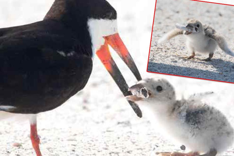 Schock am Strand! Vogelmutter füttert Küken mit diesem Müll