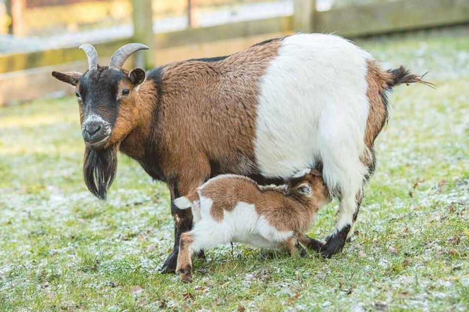 Ab an die Milchbar: Ziegen-Baby sein macht durstig.