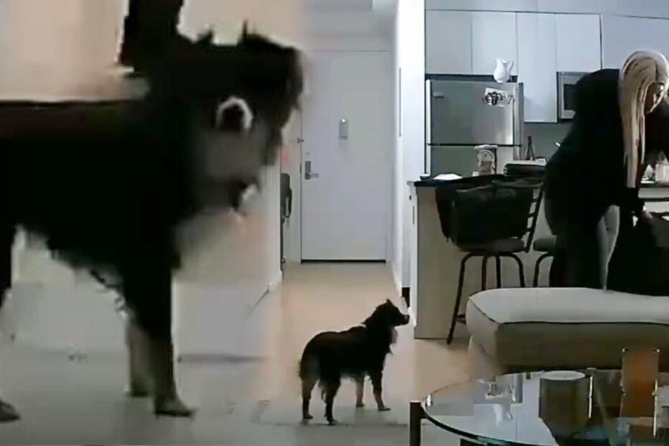 Frau engagiert Hunde-Sitterin und ist entsetzt, als sie Video sieht