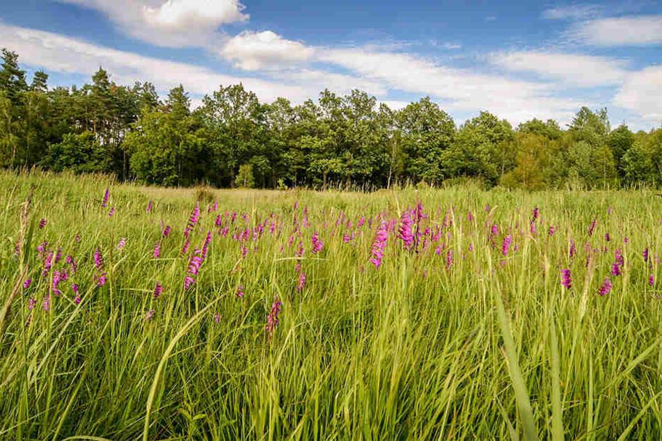 Die Wilde Gladiolenwiese in Dauban wurde zum Naturwunder 2017 gekürt.