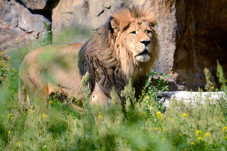 Löwen können derzeit nur im Außengehege betrachtet werden.