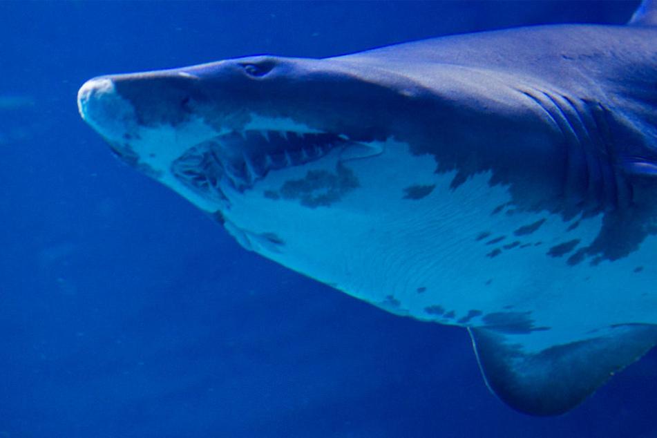Ein geplantes Haifisch-Aquarium sorgt in Pfungstadt für heftigen Streit (Archivbild).