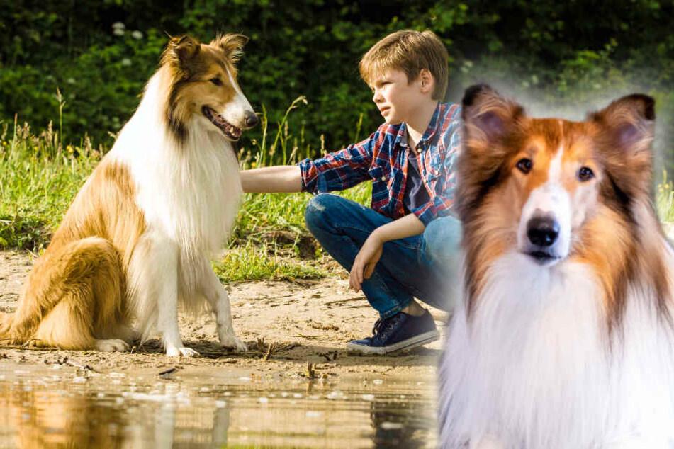 Hunde-Liebling aus der Kindheit: Lassie kommt auf die Leinwand zurück!