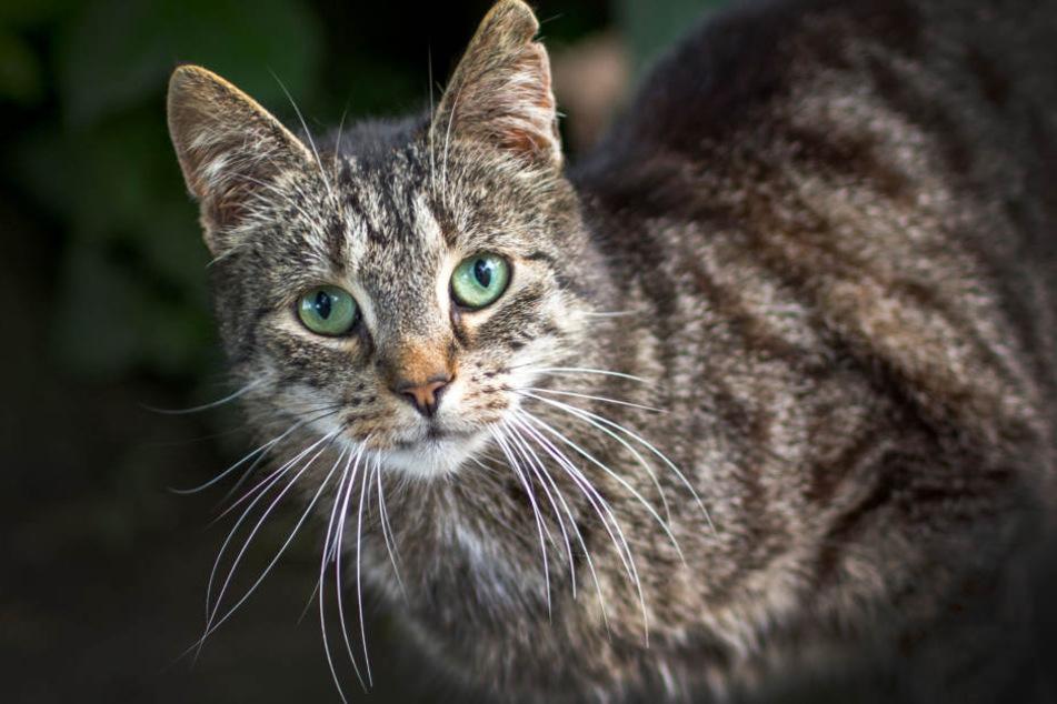 In Kolumbien wurden mehrere Katzen gestohlen, geopfert und anschließend gegessen. (Symbolbild)
