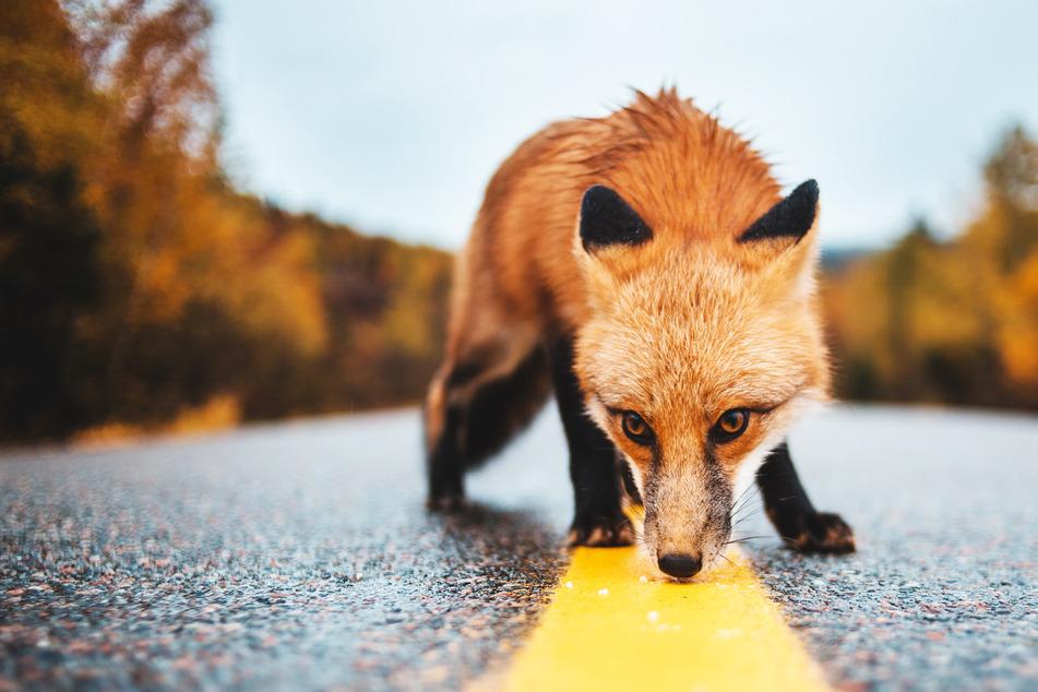 Fuchs kommt in Hotelzimmer und beißt Mädchen (3) in den Fuß