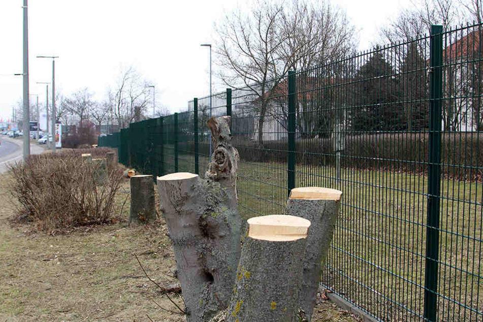 Baumstümpfe so weit das Auge reicht - aus Angst vor Anschlägen auf das neue Abhörzentrum der Polizei wurde der grüne Gürtel rund um das Gelände der Leipziger Bereitschaftspolizei abgeholzt.