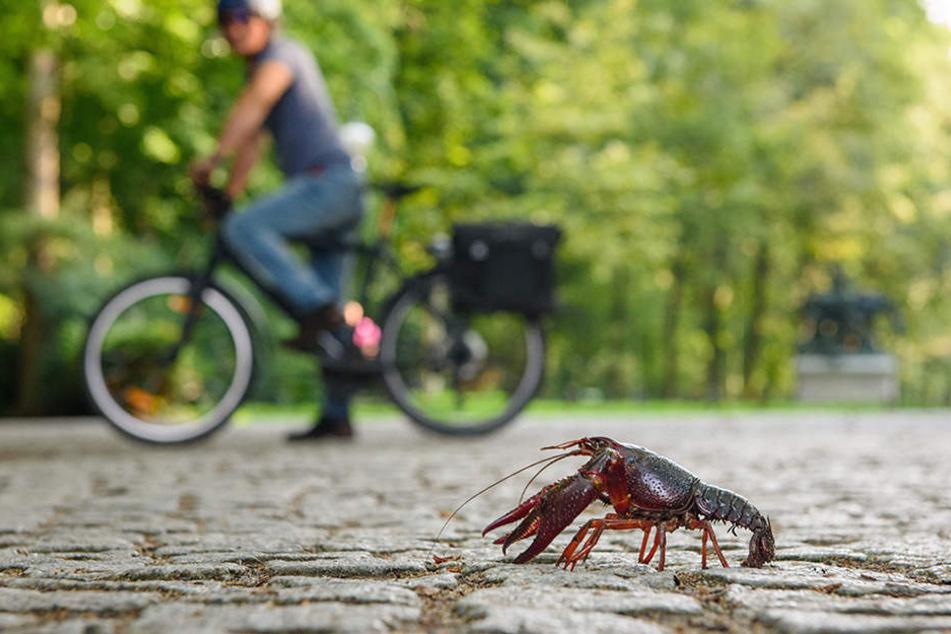 Ein roter amerikanischer Sumpfkrebs läuft über einem Weg im Berliner Tiergarten.
