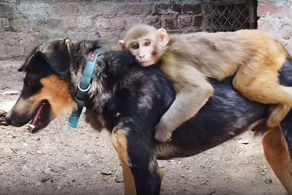 Warum dieser Affe nicht ohne seinen Hund kann