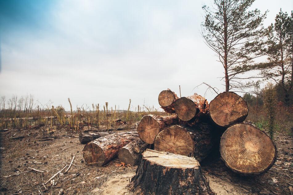 Studie zeigt: Holzen wir weiter ab, wird es mehr Infektions-Krankheiten geben