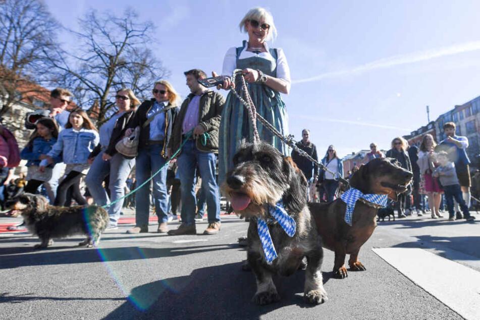 Eine Frau führt ihre Dackel bei einer Dackelparade an der Leine durch München: Anlässlich einer Ausstellung waren Dackelbesitzer aufgerufen an der Parade teilzunehmen.