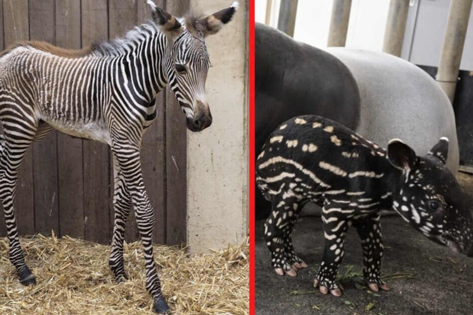 Rüsselchen und kleine Hufe! Gleich zweifacher Nachwuchs im Leipziger Zoo