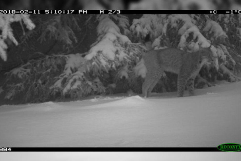 Mit einer Wildcam machte der Naturschützer den sensationellen Schnappschuss.