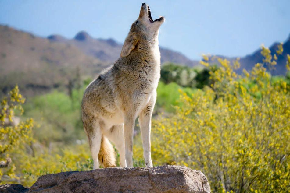 Der Kanadier staunte nicht schlecht, als er von den Krankenhaus-Mitarbeitern erfuhr, dass er einen wilden Kojoten gerettet hatte. (Symbolbild)