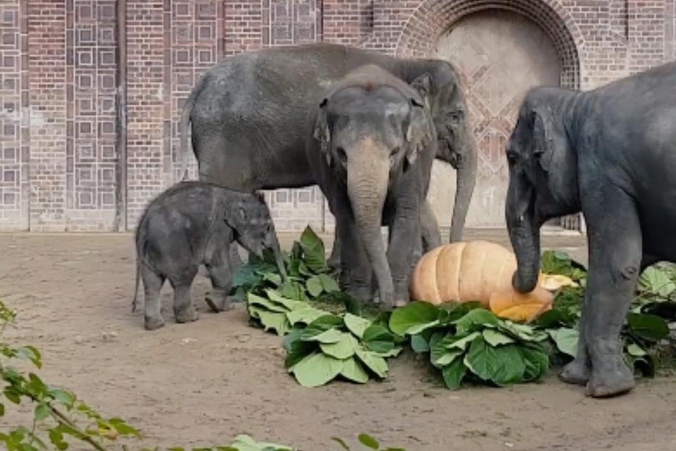 Leipzig: Verspätete Halloween-Party im Elefanten-Gehege? Köstliche Überraschung für Leipzigs Dickhäuter