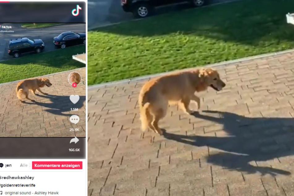 Auf diesem mittlerweile gelöschten TikTok-Profil von @redhawkashley erschien der Clip. Der Golden Retriever ist darin auf dem Dach zu sehen.