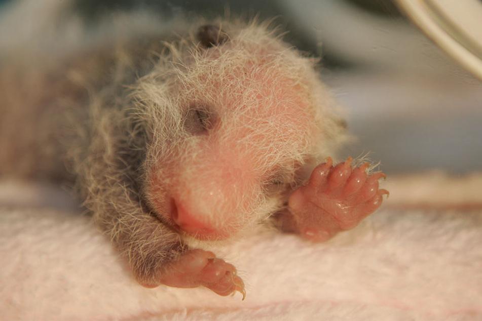 Hello, da bin ich. Der süße Panda-Nachwuchs ist klein, rosa und hat noch kaum Haare.