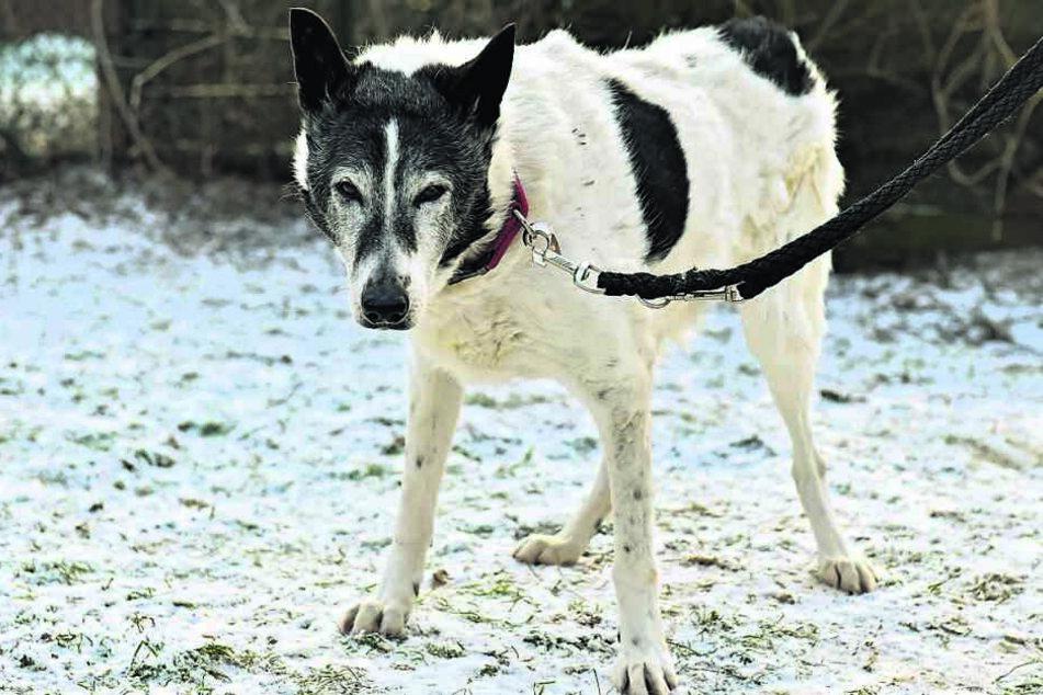 Mischling Gabriel verlor seinen Schwanz in Rumänien, wo er neun Jahre lange im engen Tierheim-Zwinger hausen musste.