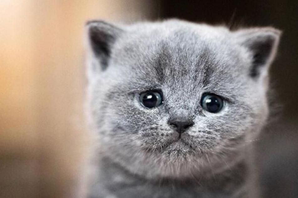 Den meisten Menschen blutet das Herz, wenn sie eine Katze weinen sehen.