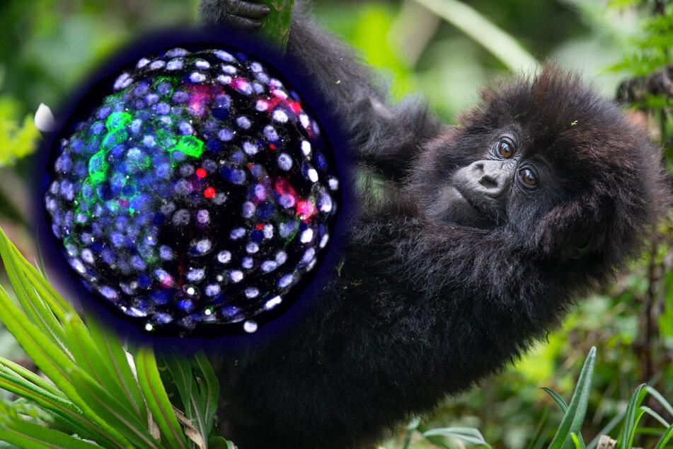 Halb Mensch, halb Affe: Forscher erschaffen Mix-Embryo, der 19 Tage überlebt