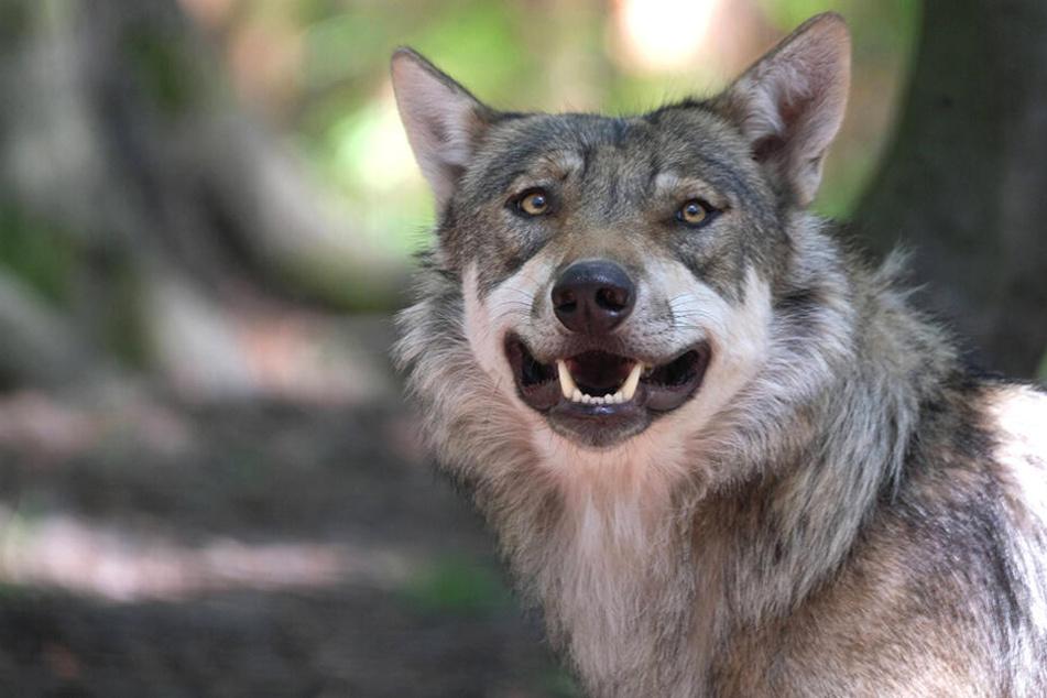 Der mutmaßliche Wolfsangriff fand in Siedlungsnähe statt.