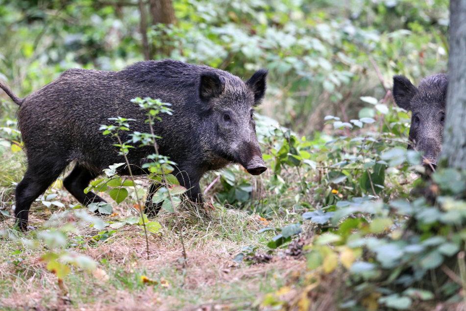 Überträger: Wildschweine schleppen die Afrikanische Schweinepest (ASP) von Polen nach Deutschland ein. Nun wurde ein erster Fall in Brandenburg bestätigt. Nun fürchten sächsische Züchter um ihre Bestände.
