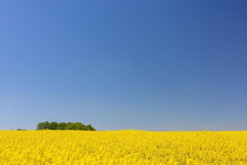 Blühende Felder: Für viele Allergiker ein Albtraum.