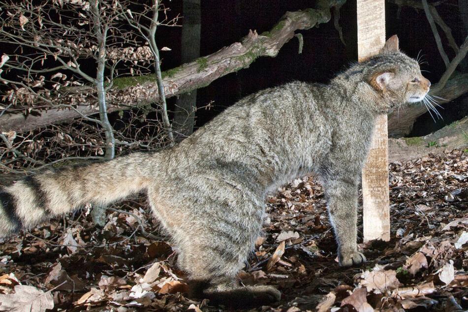Wie viele Wildkatzen leben in Hessen? Naturschützer wollen mit Baldrian locken