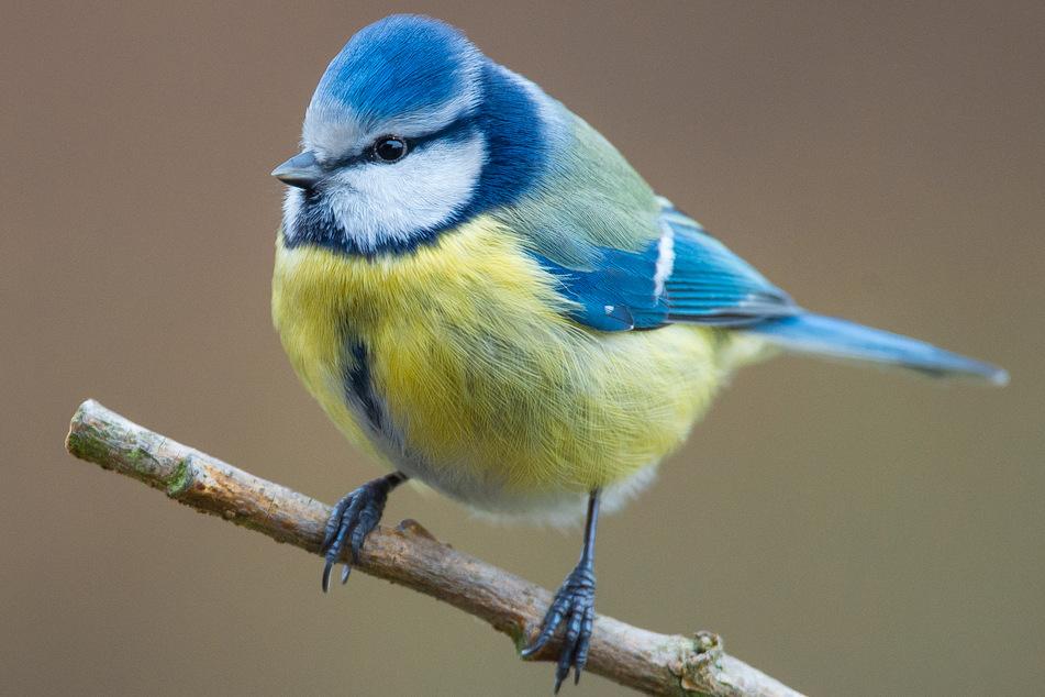 Eine Blaumeise sitzt in einem Garten auf einem Ast.