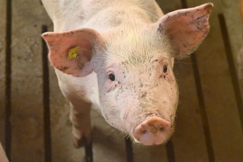In einem Schweinemast stehen meist 3000 Tiere dicht an dicht.
