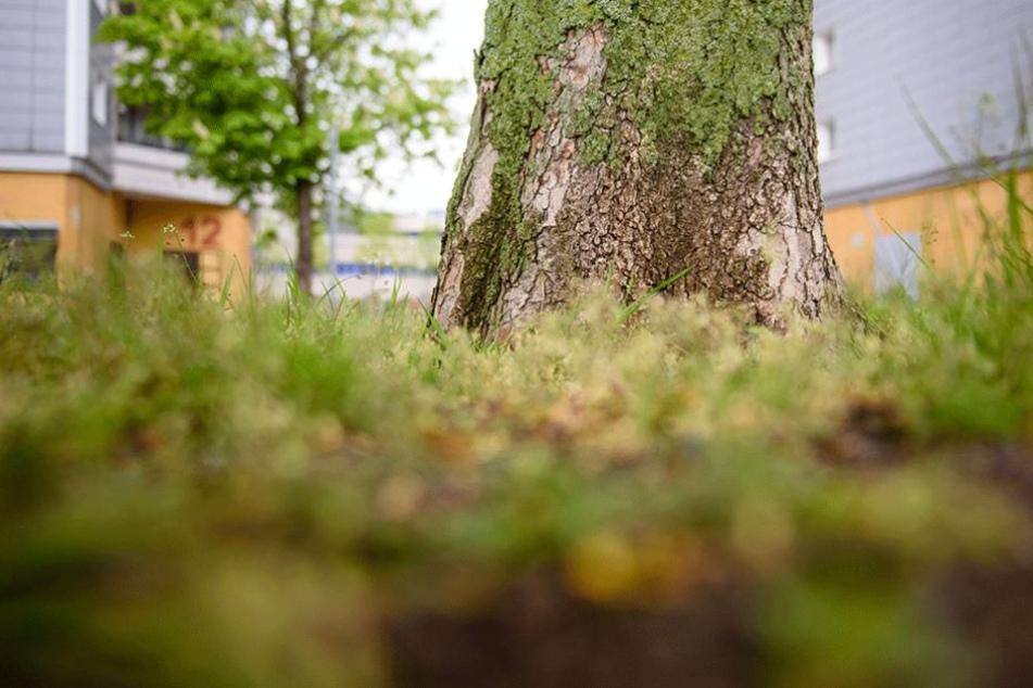 """Die abgestorbene Baumrinde am Stamm einer Rosskastanie in Berlin-Marzahn. Der Baum ist mit dem Bakterium """"Pseudomonas syringae pavia aesculi"""" infiziert"""