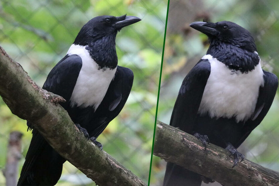 Chemnitz: Chemnitz kommt auf den Vogel: Seltener Rabe im Tierpark zu sehen