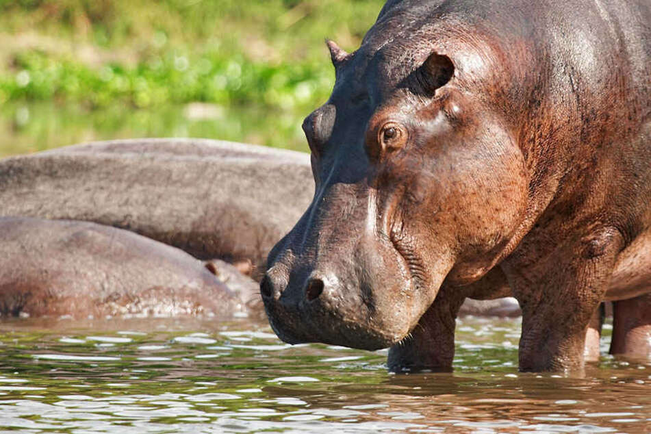 Nilpferde zählen zu den gefährlichsten Tieren Afrikas.