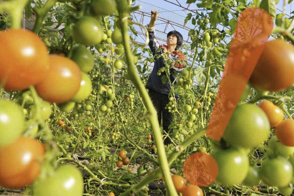 Neues Tomaten-Virus breitet sich aus! Wie gefährlich ist der Erreger?