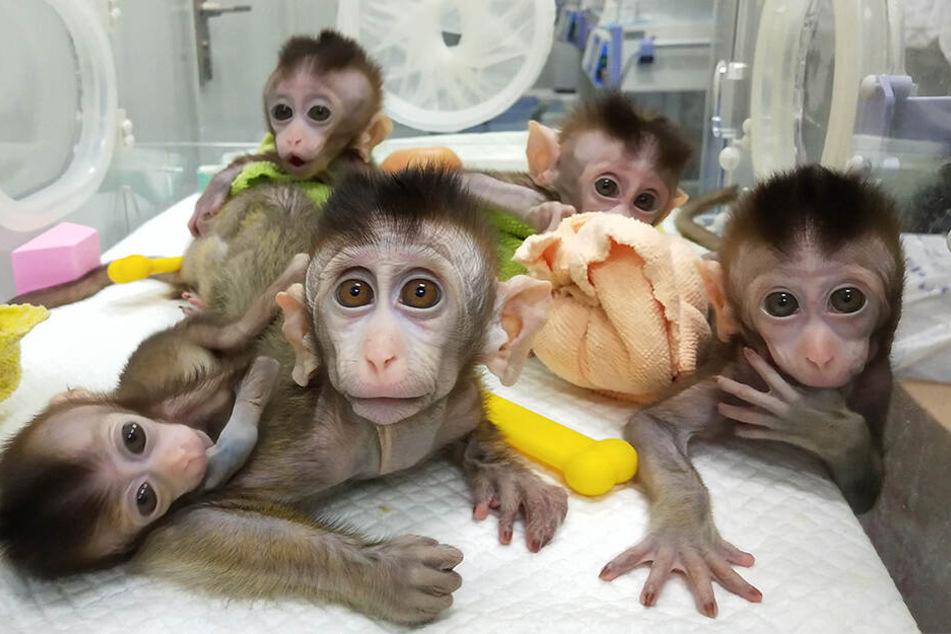 Forscher klonen kranken Affen mehrere Male