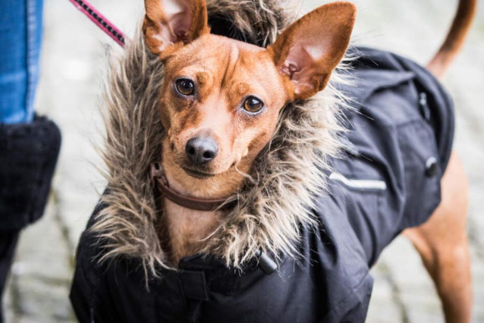 Schutz im Winter: Muss mein Hund bei Kälte einen Mantel tragen?