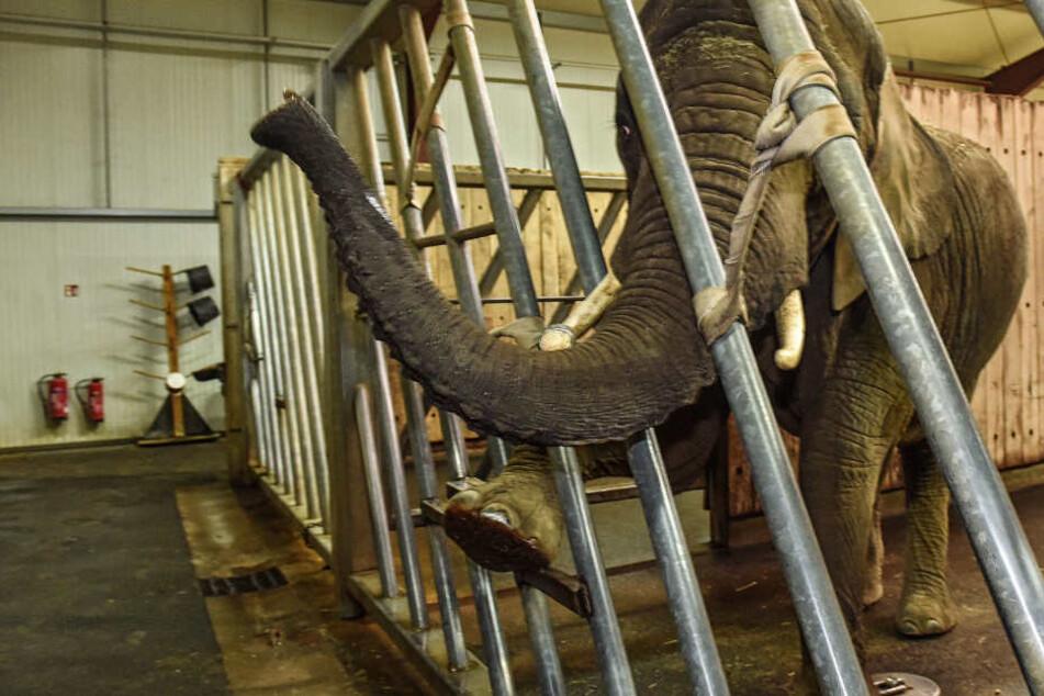 Elefantendame Sawu (22) streckt den Rüssel nach einem Leckerli aus.