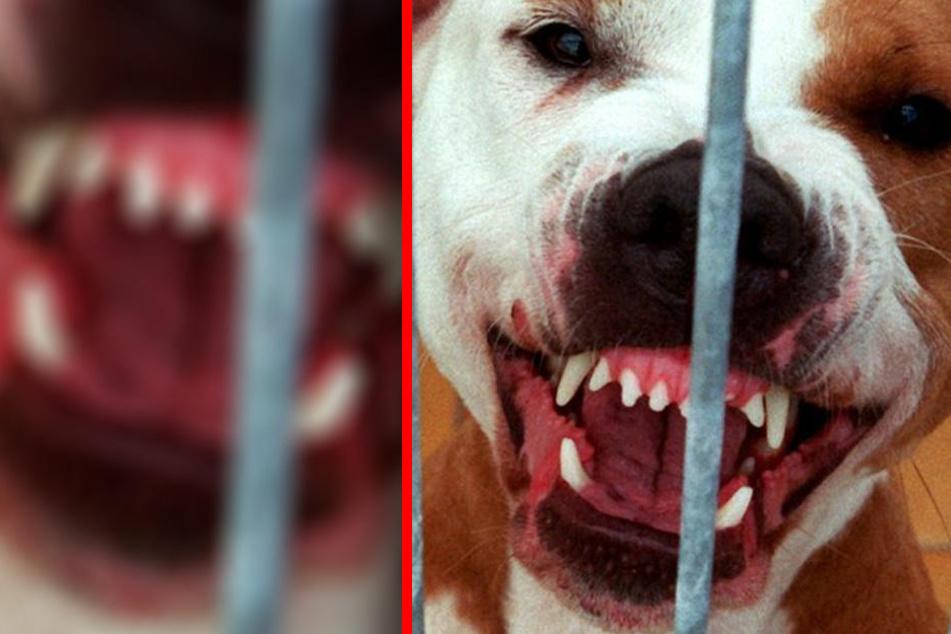 Eltern hatten keine Chance: Hunde beißen sich in Tochter (2) fest