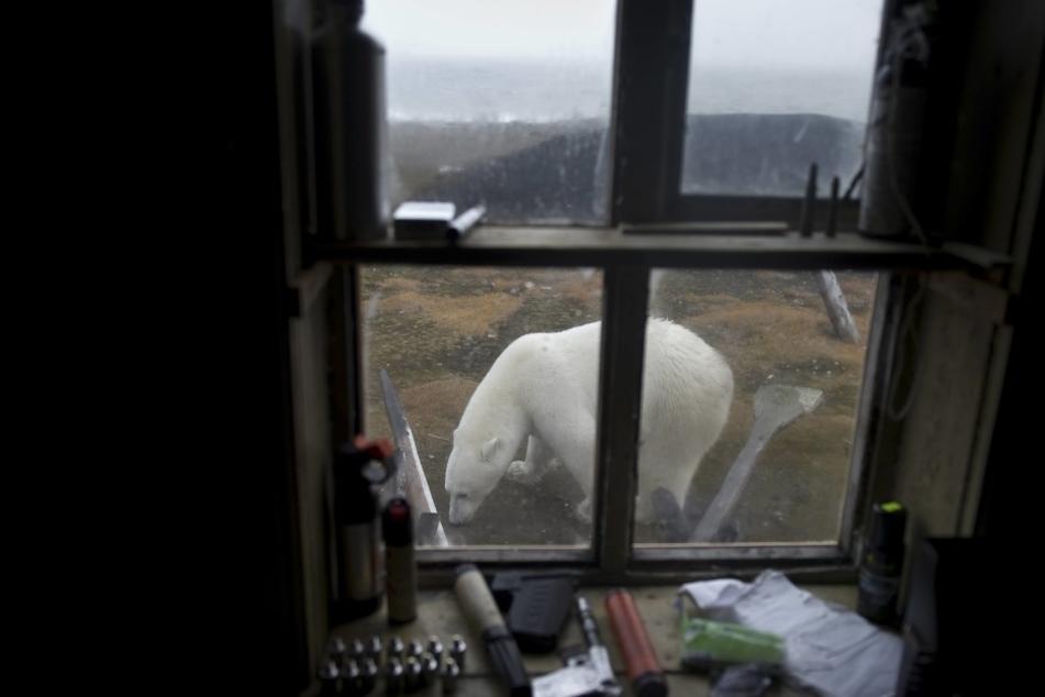 Eisbären belagern eine Wetterstation.