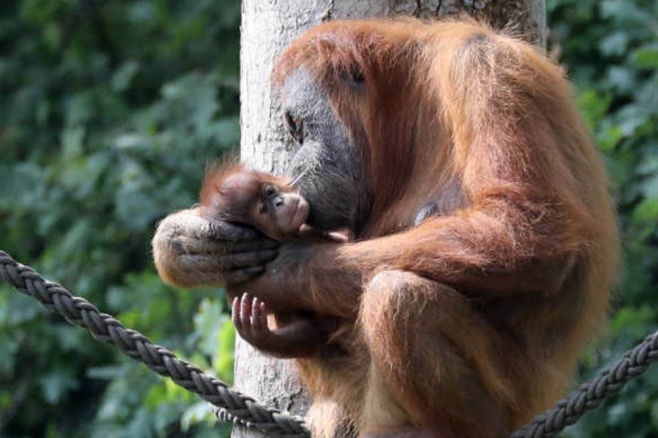 Im Leipziger Zoo brachte Anfang August Orang-Utan-Dame Padana (20) ein Mädchen zur Welt. Es wurde auf Sari getauft.