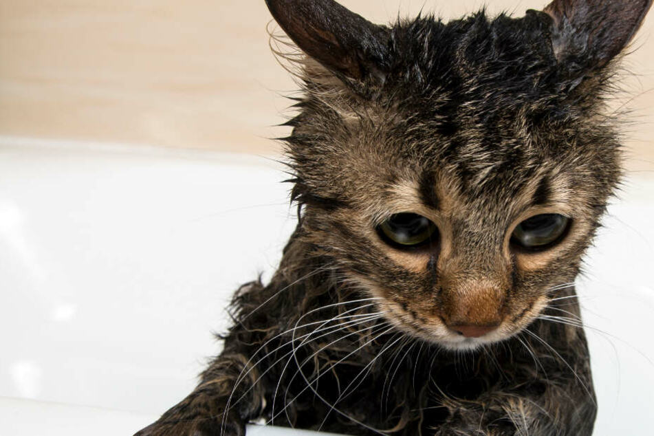 Katze liegt zum Schlafen in Waschmaschine: Dann beginnt der Vollwaschgang