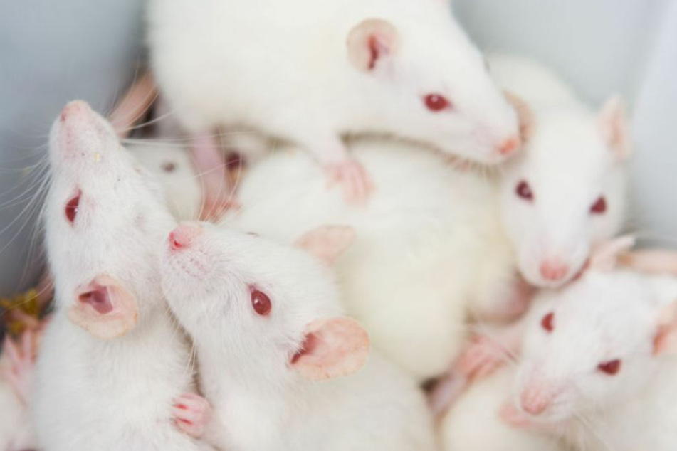 Unter Drogen! Mann mit 1200 Labormäusen und Ratten unterwegs