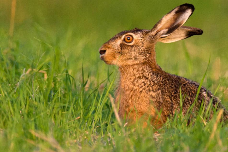 Gesunde Tiere ergreifen normalerweise die Flucht, wenn sich ein Mensch nähert (Symbolfoto).