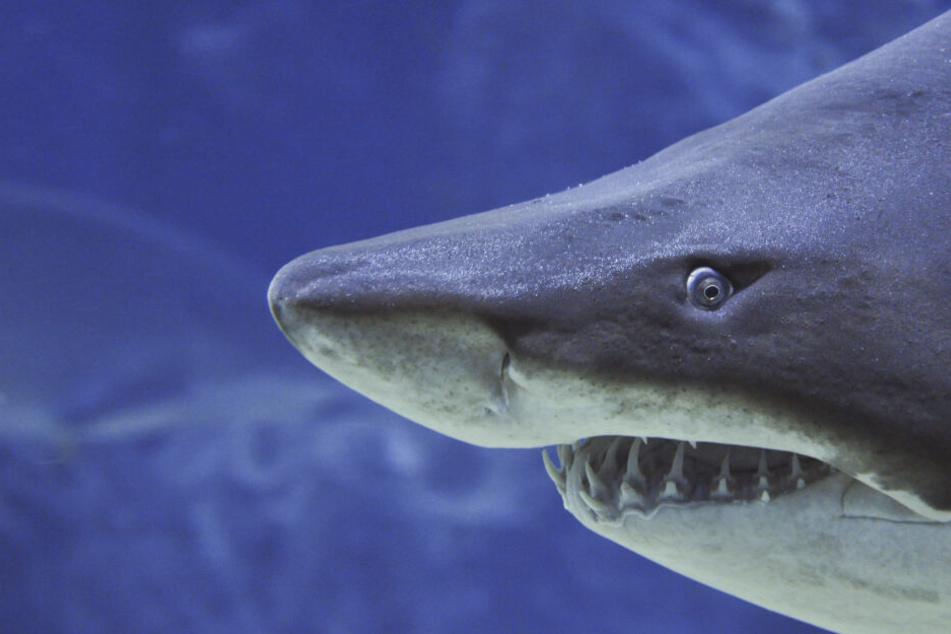 Tigerhaie zählen neben Weißen Haien zu den für Menschen gefährlichsten Raubfischen.