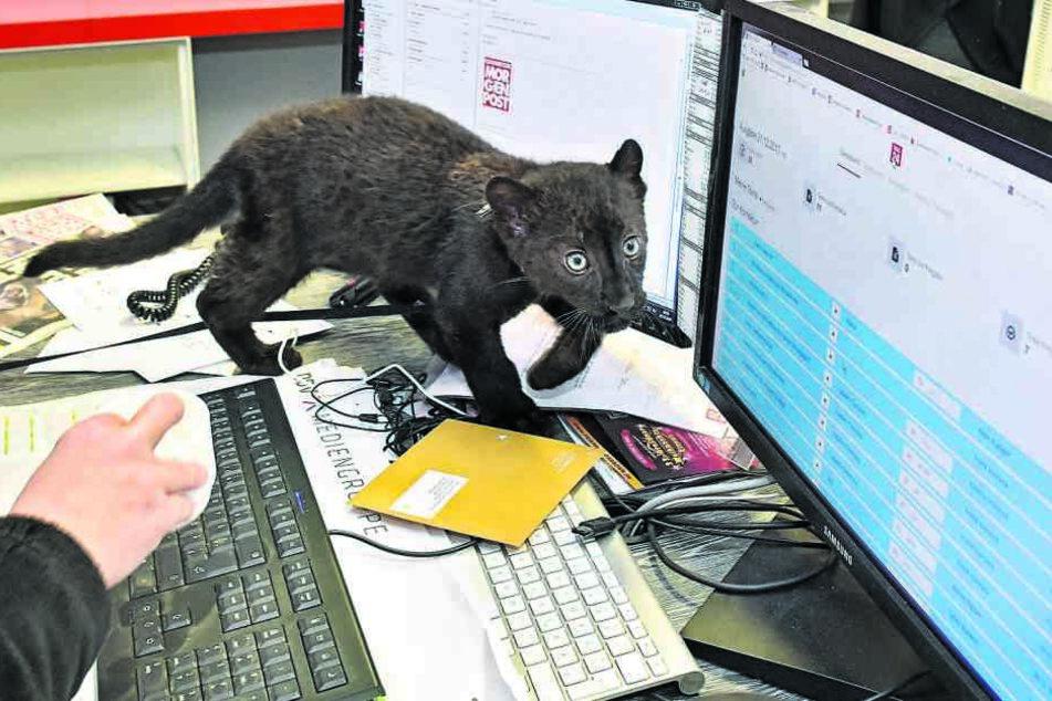 Neugierig beäugt der kleine Panther auf dem Bildschirm, welche Geschichten für TAG24 geplant sind.