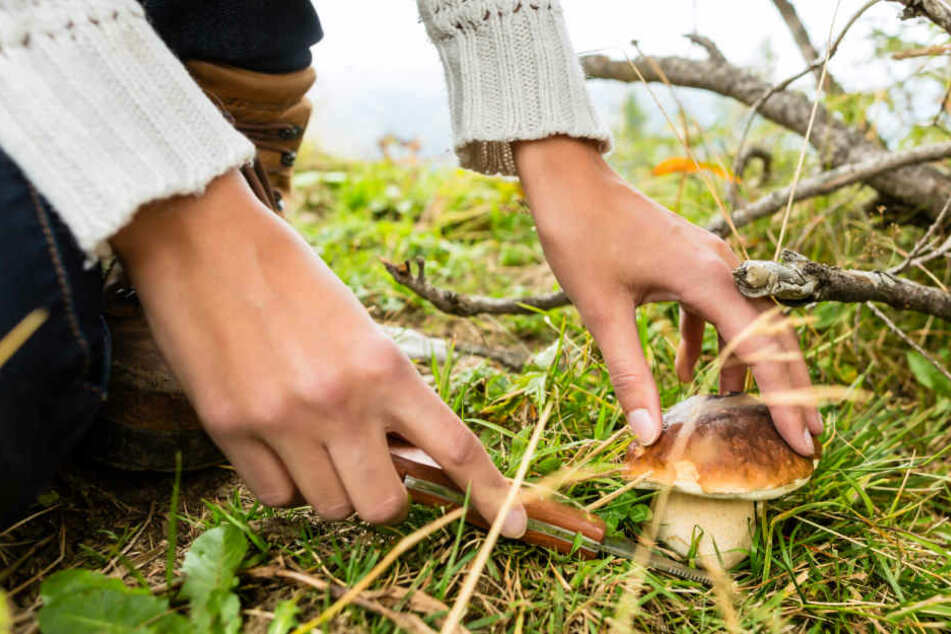 Pilzsammler aufgepasst: So viele dürft Ihr wirklich aus dem Wald mitnehmen!