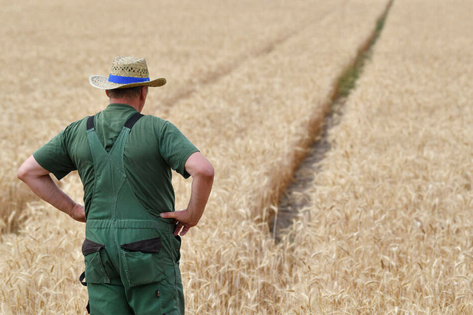 Ein Landwirt steht im vergangenen Sommer enttäuscht vor seinem Weizenfeld. Die Dürre hat den Ertrag arg schrumpfen lassen.