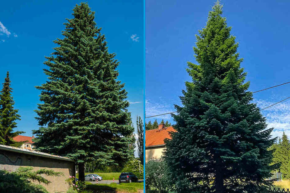 Diese beiden Bäume standen zur Wahl, eine Blaufichte aus Zwickau (l.) und eine Tanne aus dem Vogtland. Die Tanne hat gewonnen.