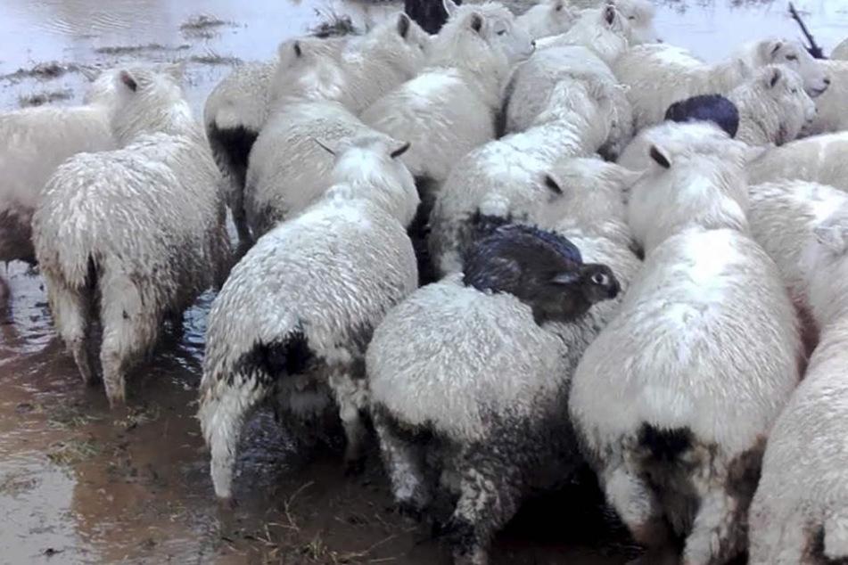 Die Hasen kauerten auf den Rücken der Schafe, um sich vor dem Hochwasser zu schützen.